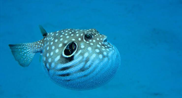 Фото к статье: Рыба фугу обезврежена