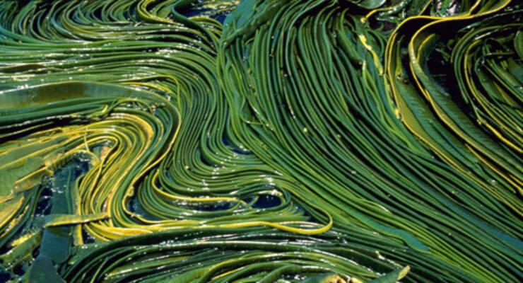 Фото к статье: Зачем есть водоросли